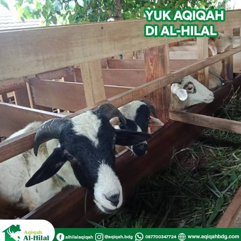 Domba/Kambing Aqiqah Alhilal Bandung